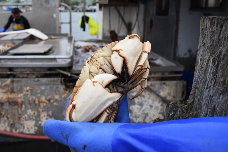 Jonah crab are sturdy, hard-shelled creatures with black-tipped claws. They weigh about a pound apiece.