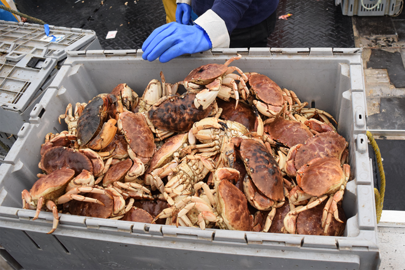 Jonah crab are sustaining Southern New England fishermen left stranded by the decline of lobsters.