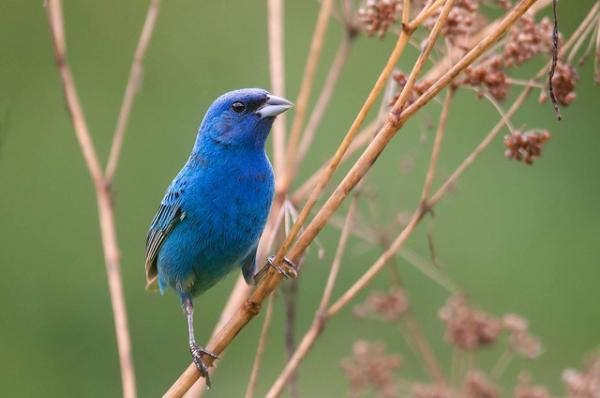 Indigo Buntings create a lot of excitement when they appear on birdfeeders at this time of year. A handful now nest along power lines on the Upper Cape and a few pairs are nesting in wooded heavily wooded sections of the Vineyard.