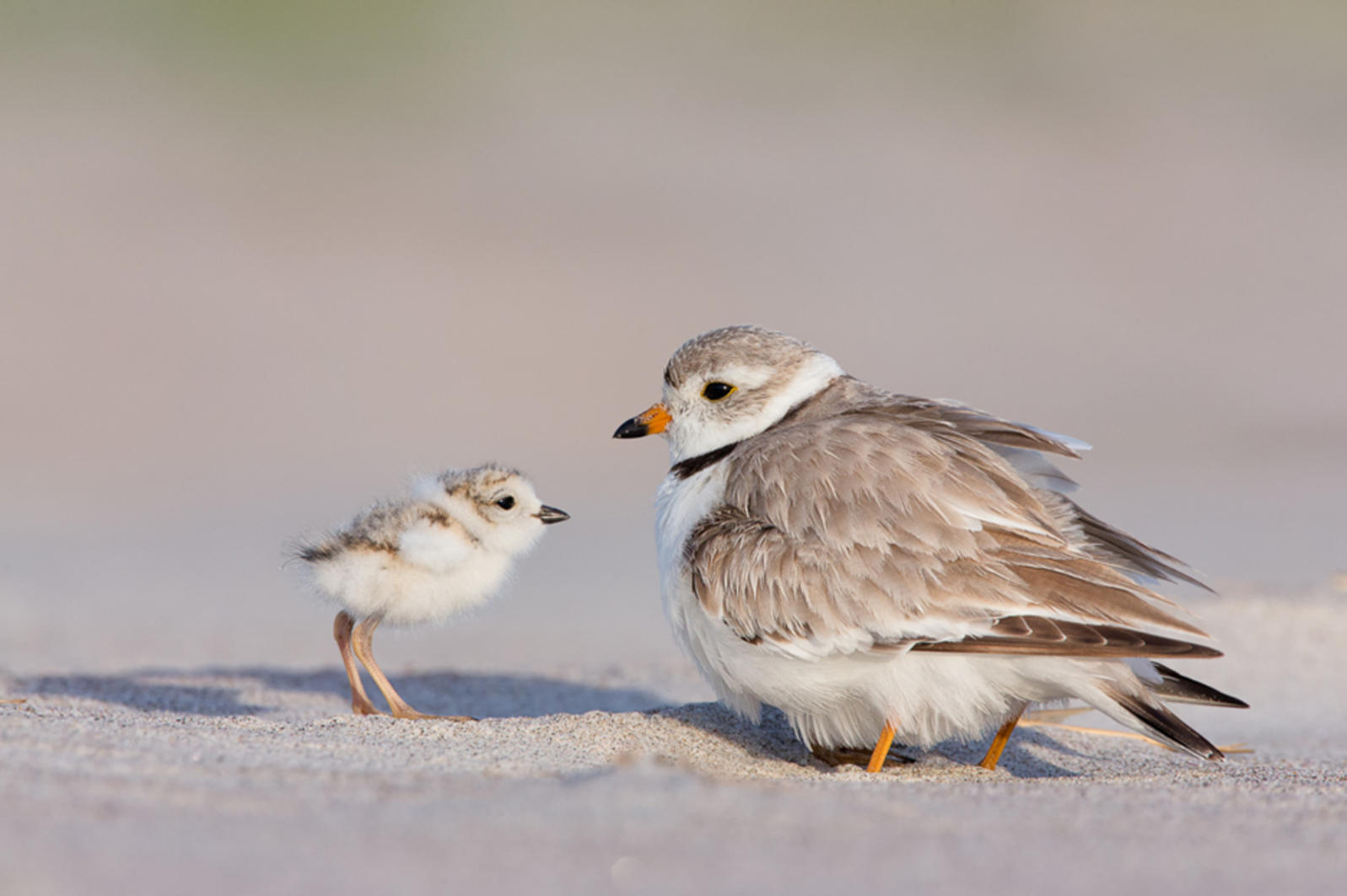 Baby piping plover - photo#8