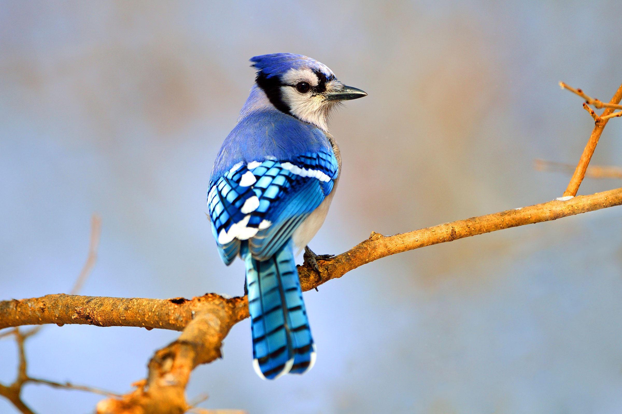 Blue Jays  Masters of Imitation  726ee181294