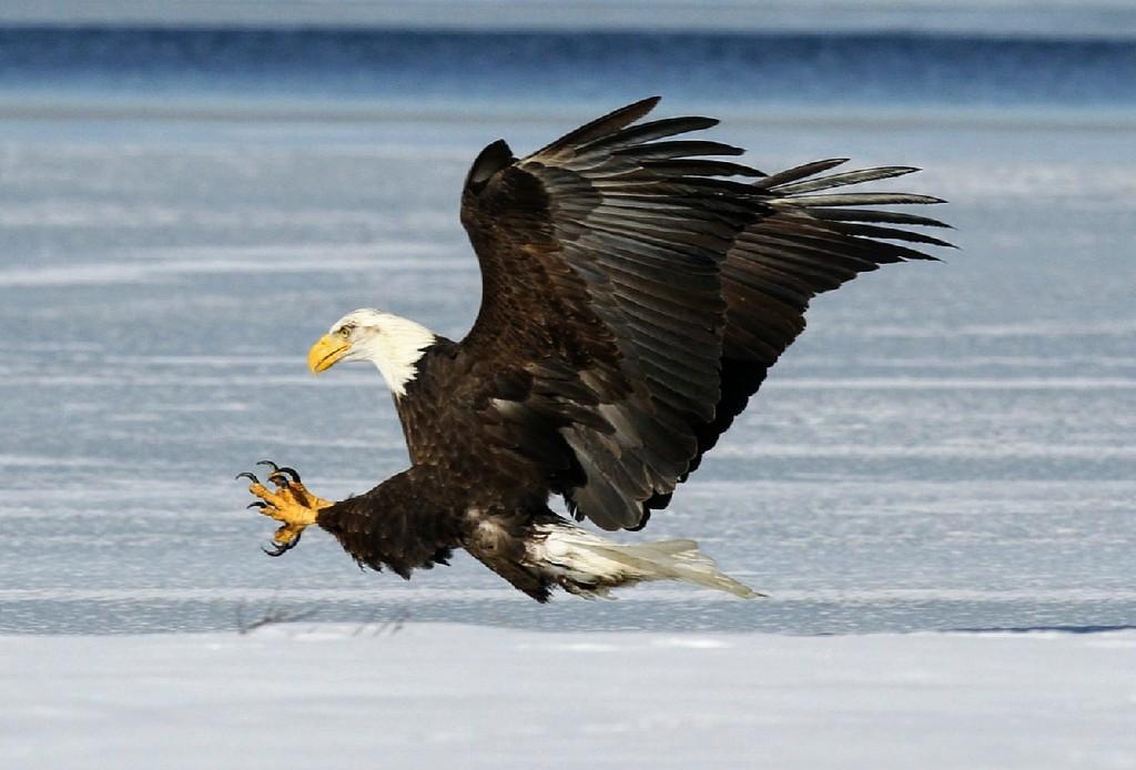 The National Symbol The Bald Eagle Wcai