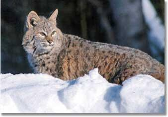 Bobcat in winter