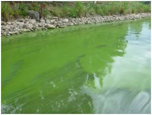 Blue-green algal bloom