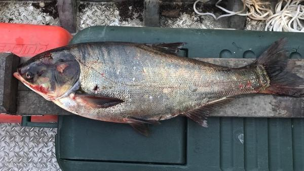 Wildlife experts track Asian carp found near Lake Michigan