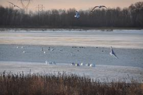 Trumpeter swans sleep on the ice at Heron Pond at Riverlands, while seagulls fly overhead.