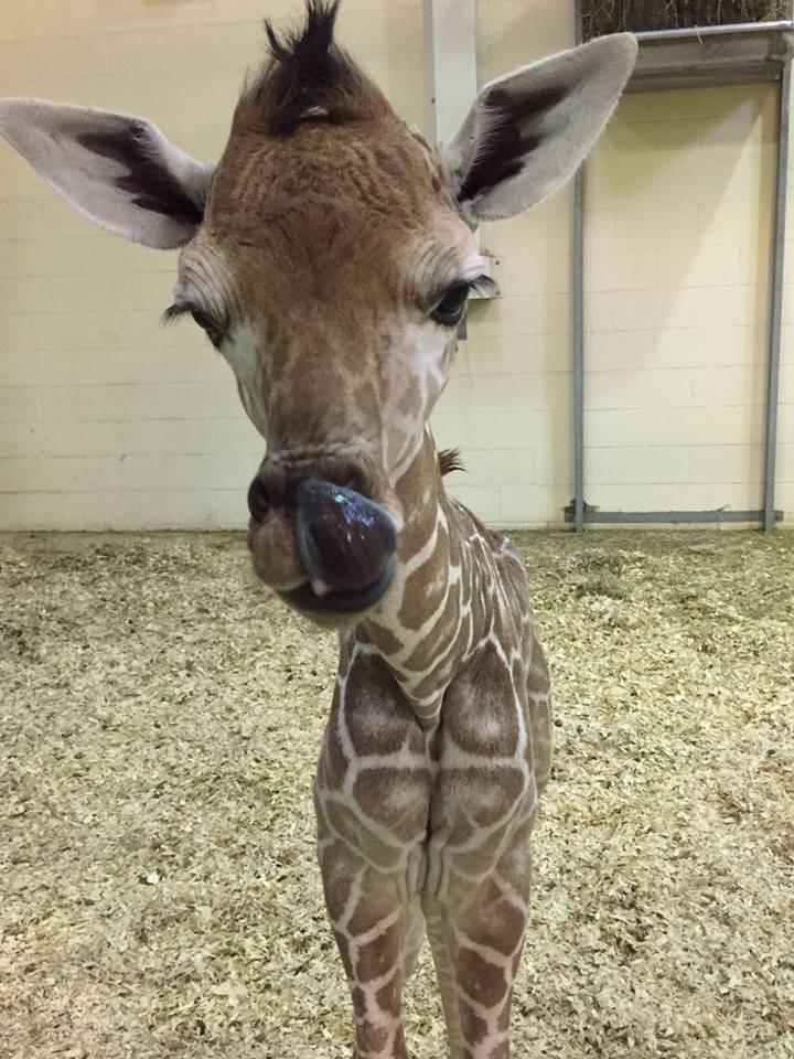 "The new baby girl giraffe weighed in at 122 pounds and stands 5'10"" tall."