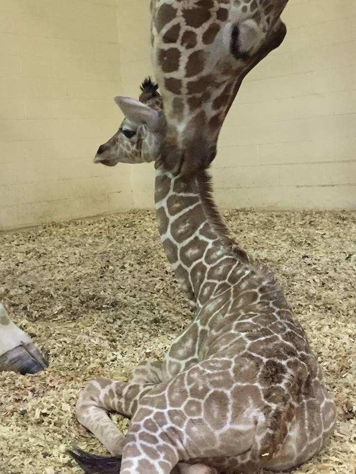 The Peoria Zoo shared this photo of Vivian the Giraffe and her new baby girl.