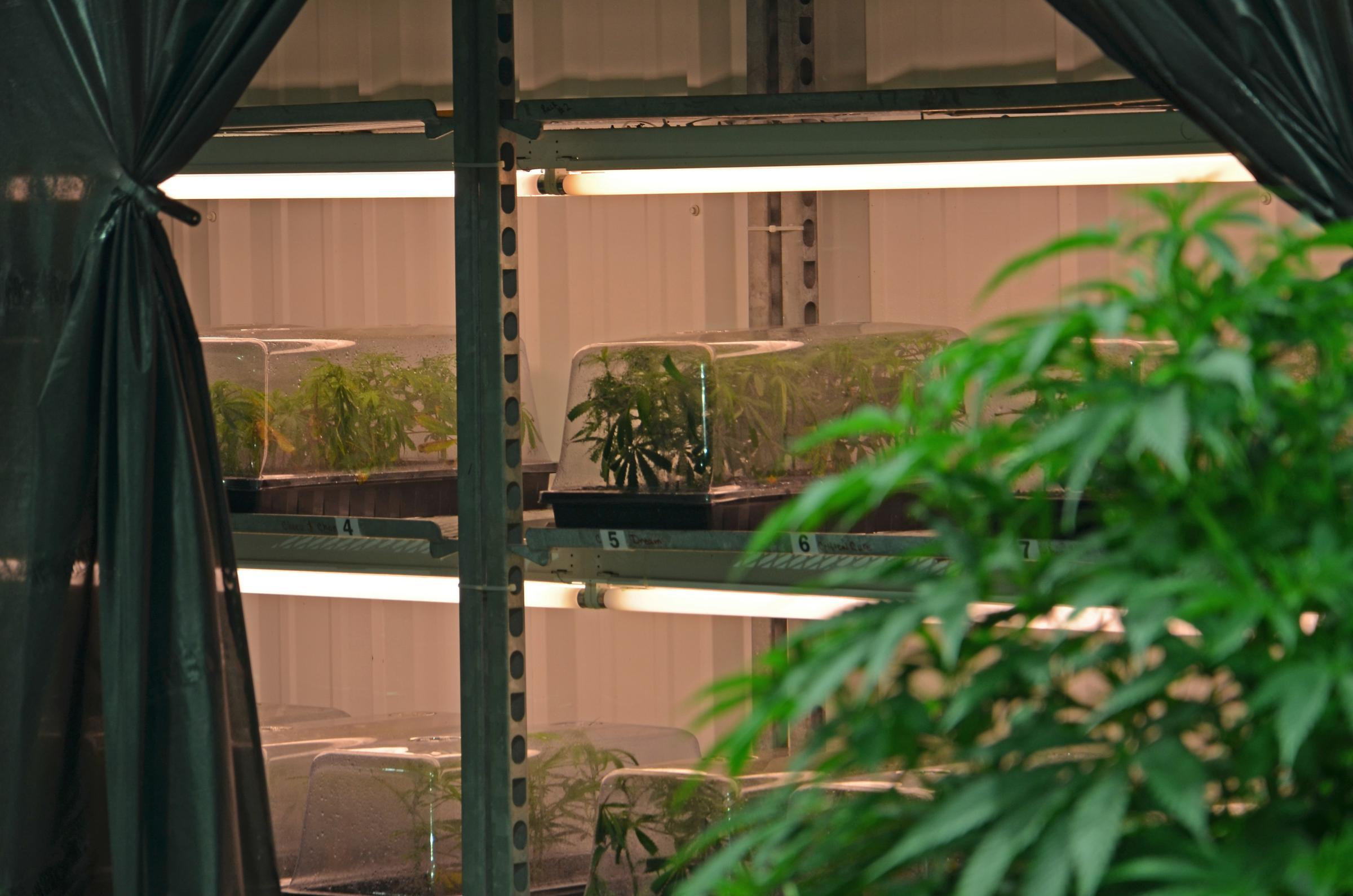Illinois fulton county vermont - Medical Marijuana Plants Get Started In The Vegetative Room Where The Lights Are On 24 Hours A Day