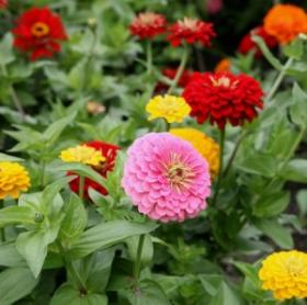 Make your gift today and you could win big and we'll thank you with a packet of Zinnia seeds from Sow True Seed.