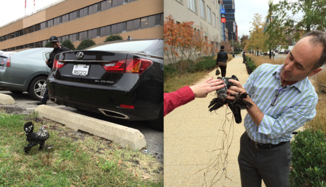 The great NPR chicken rescue of 2015!