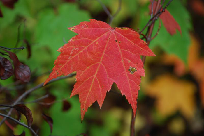 Autumn leaves are known throughout the southern Appalachian mountain region for their vibrant beauty, however WCU Biologist Beverly Collins expects them to be slightly duller this year.