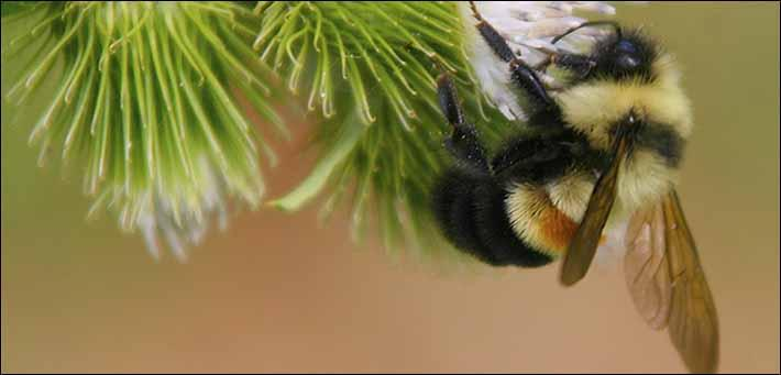 The Rusty Patched Bumble Bee hasn't been seen in WNC since 2006
