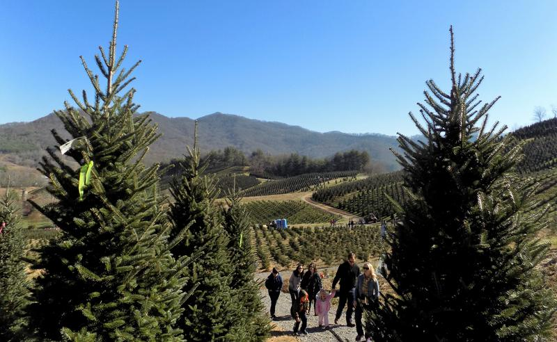 Boyd Mountain Christmas Tree Farm - before the sellout