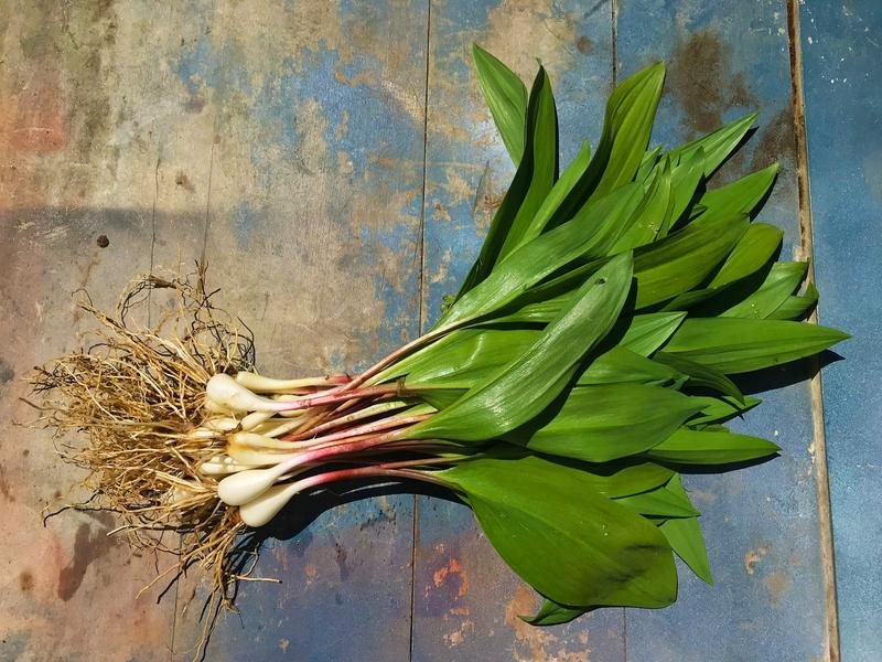 Allium Tricoccum, better known to most as ramps.