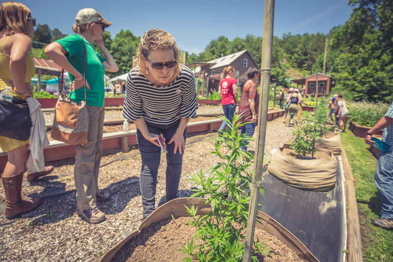 Jeanine Davis, extension specialist at the Mountain Horticultural Crops Research and Extension Center examines a hemp plant at Franny's Farm.