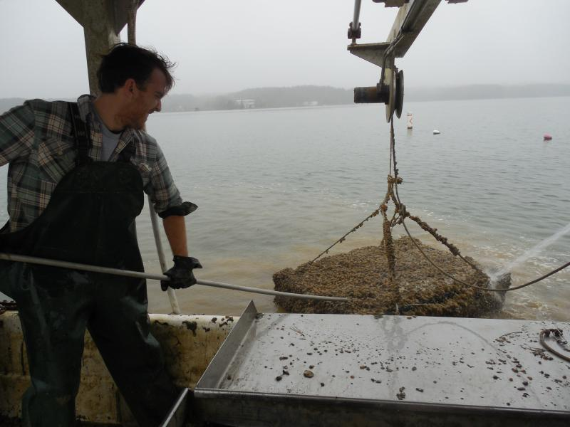 Patrick Hudson, oyster aquaculture farm owner, wrestles with a cage on board