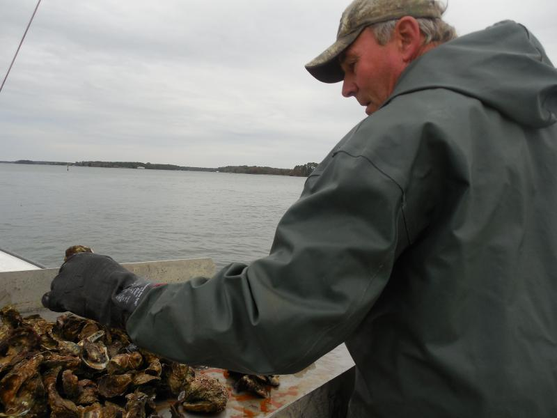 Bobby Leonard sorting oysters.