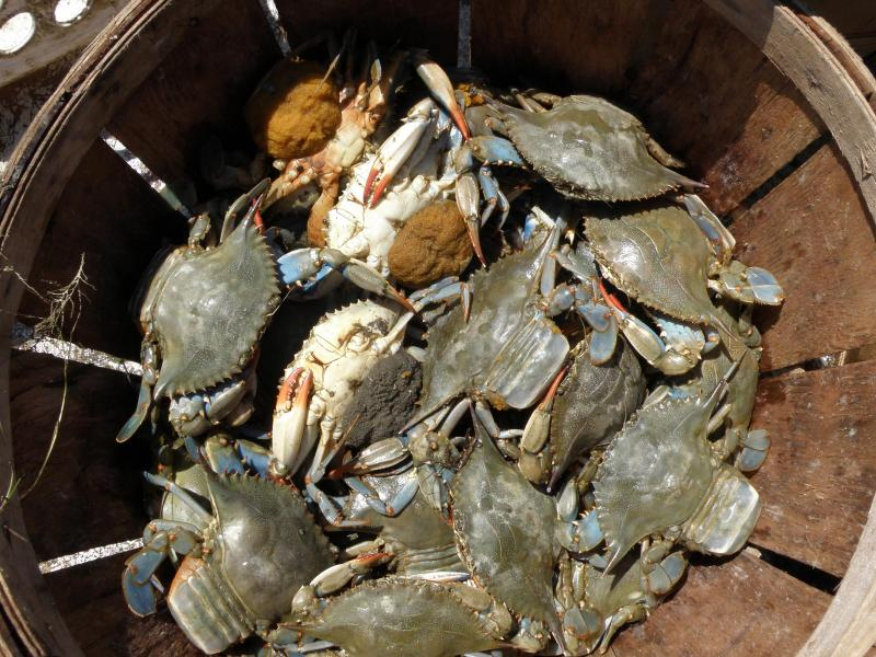 A basket of sponge crabs in Ida Hall's boat