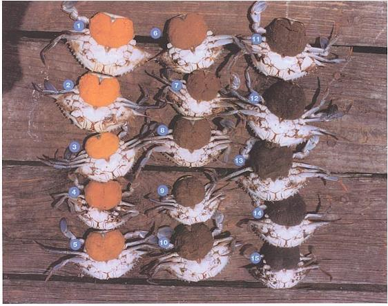 Virginia's guide to sponge crabs. Those numbered seven and up are illegal