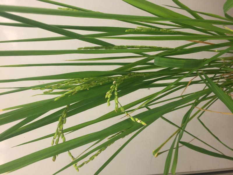 Rice flowering and seed setting