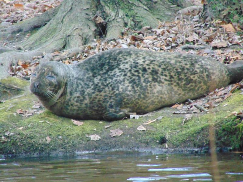 The harbor seal at Coursey Pond in Felton