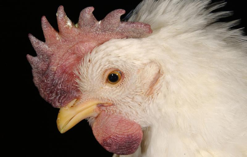 A chicken shows signs of the Highly Pathogenic Avian Influenza:  Swelling of the tissue around the eyes and neck.