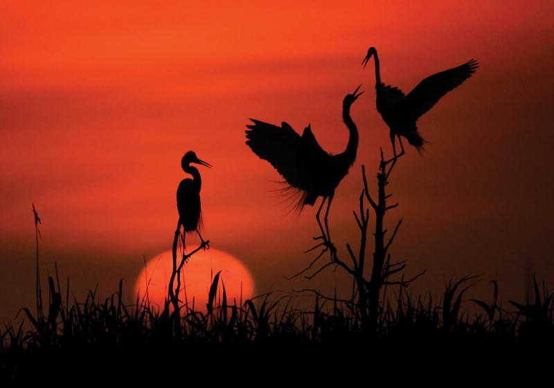 """Great Egret Trio Sunrise Silhouette"" by Kevin Fleming"