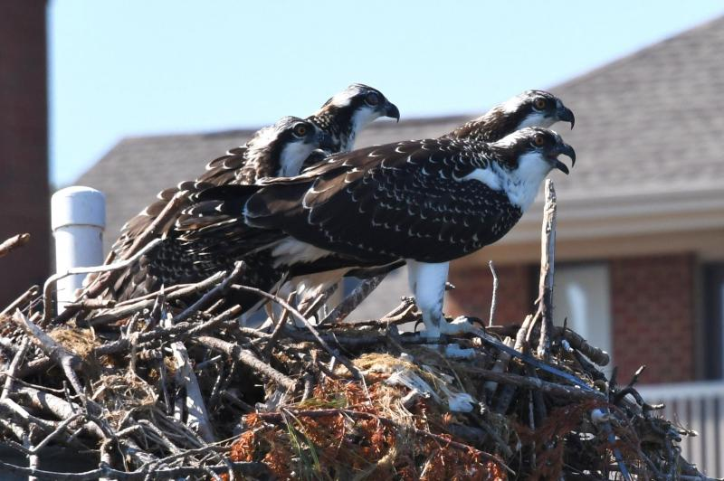 Osprey family at Lynnhven Inlet, VA.