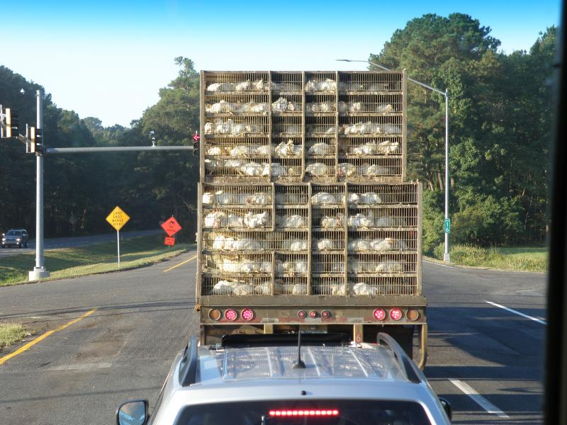 A common sight: Chickens being transported for processing in Accomack County, Virginia