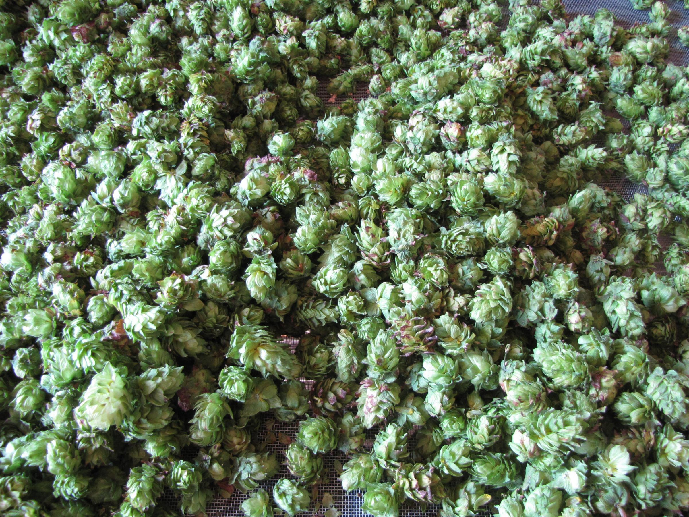 enlighten me growing hops in the first state delaware first media