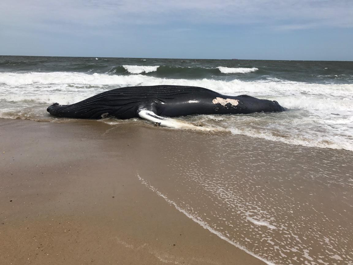 Dead Whale At Rehoboth Beach Marks Fifth Humpback Whale