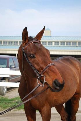 Racehorse rescued from slaughterhouse by American Humane Society.