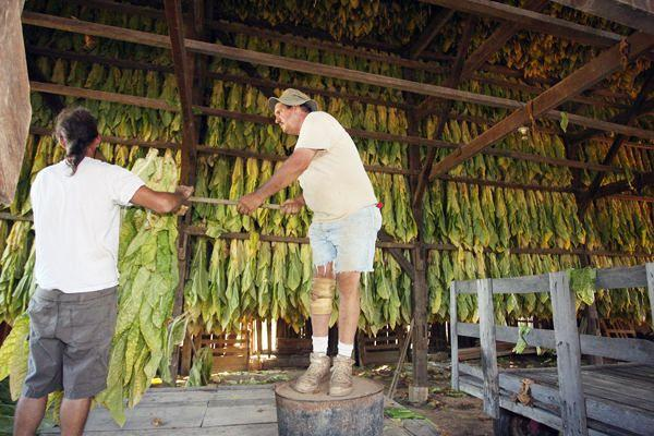 Henry Stevens, left, and Marlon Waits helped hang tobacco at a barn off Ashgrove Lane in northern Jessamine County on Thursday, Aug. 11.