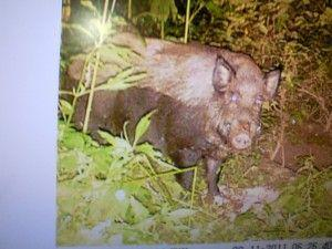 This image of a wild pig was caught on a trail camera owned by Lewis County resident Andrew Sauley in the Concord area.