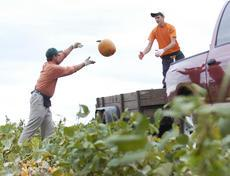 Crawford Farms co-owner Mason Crawford pitches a pumpkin to Shelby Jordan, 15, as they fill a trailer with a load of pumpkins Tuesday at the farm in the Elizabethtown area.