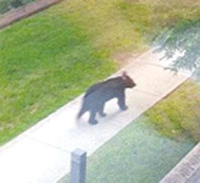 This black bear was seen in Corbin several times.
