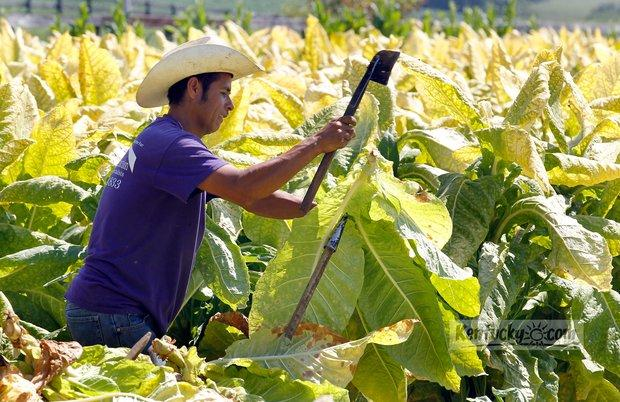 Roberto Chavez Gonzalez placed a stalk of tobacco on a stick as part of a crew of 5 workers cutting 8 acres of tobacco on Rick Horn's farm on U.S. 421 near Midway, Ky., Wednesday, August, 22, 2012.