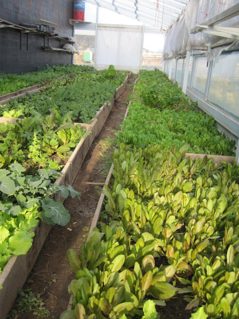 Throughout the winter Berries on Bryan Station grows several varieties of lettuce in its greenhouses to provide salad mix to area restaurants.