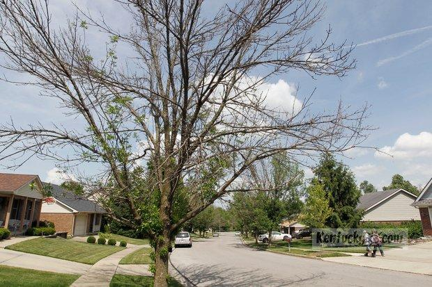 Dying ash trees on McGarry Dr. in Lexington. The emerald ash borer is killing many untreated ash trees in Lexington.