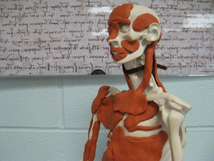 Modeling anatomy in clay is one possible alternative for students who want to opt out of dissection for religious, moral, or ethical reasons.