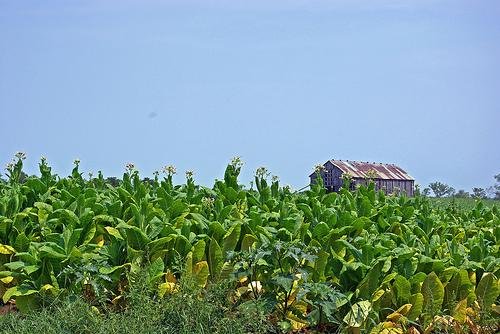 Eastern Kentucky tobacco field.