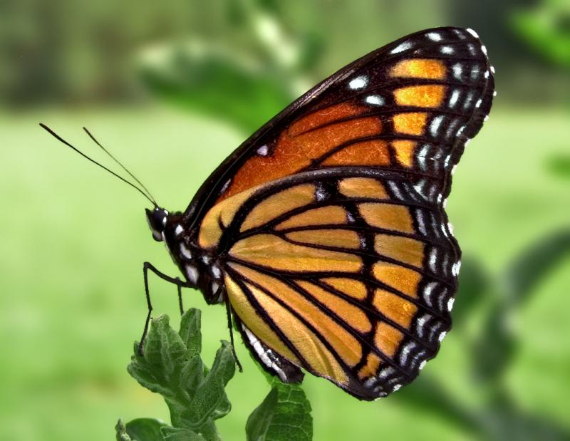 A Viceroy Butterfly on a plant.