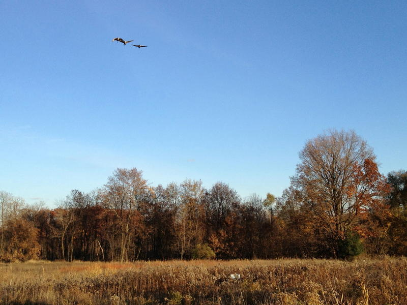 Sandhill Cranes over the Preserve at All Saints, Rochester