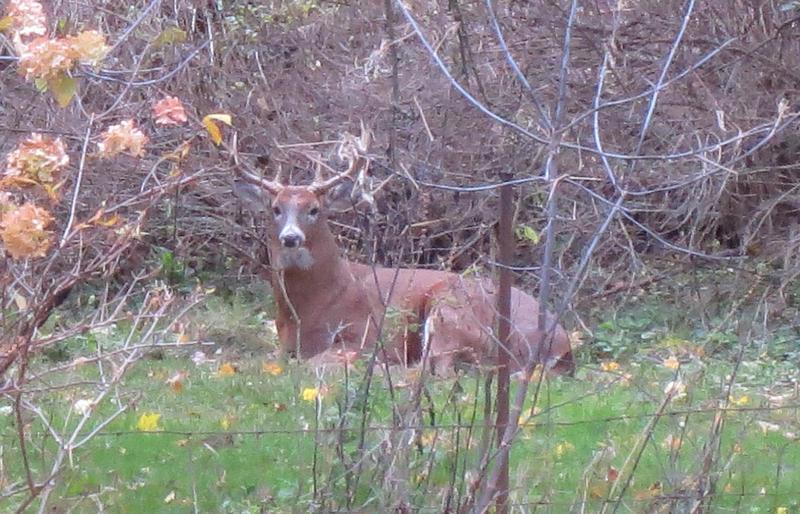 Deer in Maurita Holland's backyard