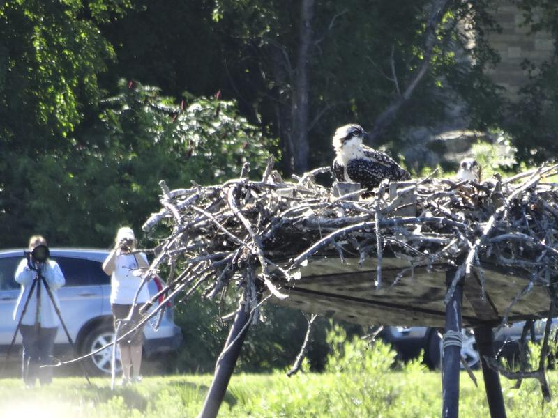 Osprey nest at Kensington Metro Park