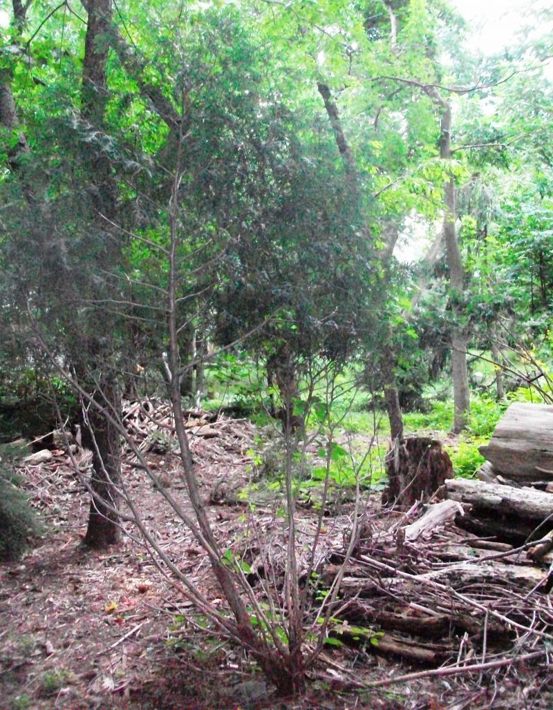 Deer Damaged Bush