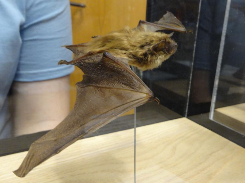 Big brown bat at the 2014 Great Lakes Bat Festival