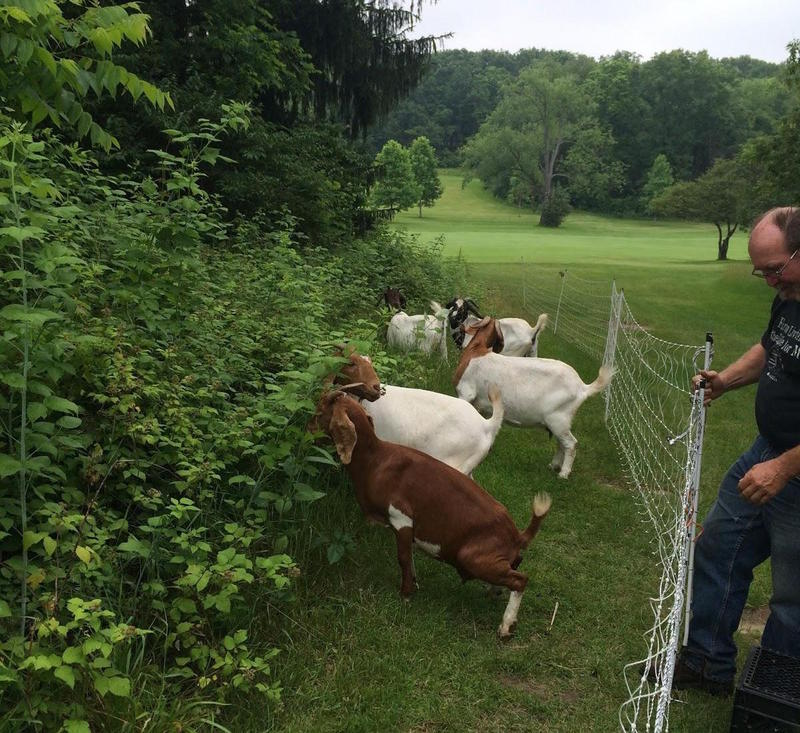 The goats are already at work clearing brush.