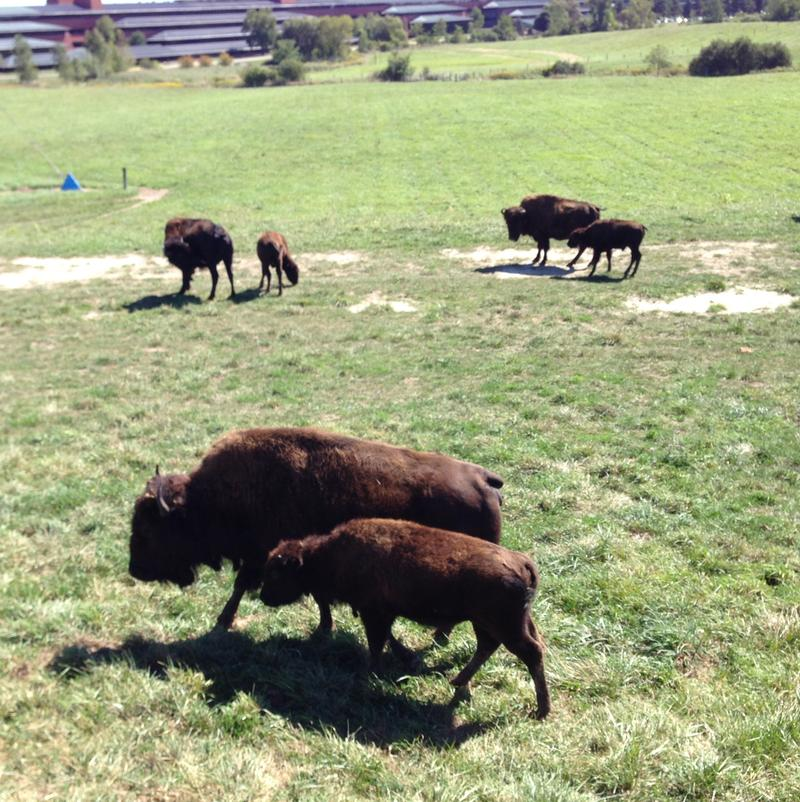 Baby Bison and their Mommas.